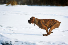 Dog brindle boxer running in the winter in the snow, fast runnin Royalty Free Stock Photos