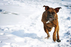 Dog brindle boxer running in the winter in the snow, fun games d Stock Photo