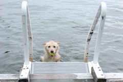 Dog brings the ball back to the dock. Dog has caught the tennis ball and swims back to the dock Stock Photo