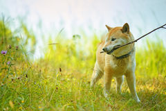 Dog brings stick Royalty Free Stock Images