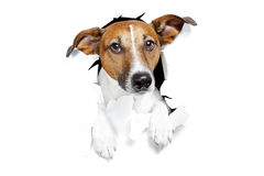 Dog broke the paper wall royalty free stock image