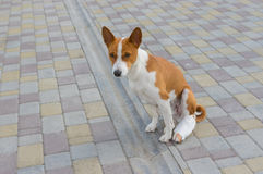 Dog with broken bandaged hind feet sitting on a pavement. Basenji dog with broken bandaged hind feet sitting on a pavement stock images