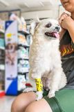Dog broken leg with bandage in veterinary clinic. Dog broken leg sore with a yellow bandage making by veterinarian doctor during the examination in veterinary Stock Photos
