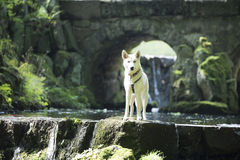 Dog in brook Stock Images