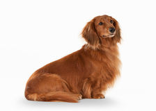 Dog. Brown dachshund on white background Royalty Free Stock Photo
