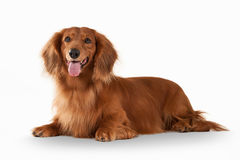 Dog. Brown dachshund on white background Royalty Free Stock Images