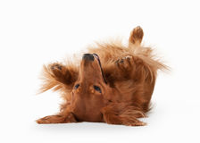 Dog. Brown dachshund on white background Stock Image