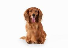 Dog. Brown dachshund on white background Stock Photo