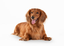 Dog. Brown dachshund on white background Royalty Free Stock Image