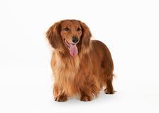 Dog. Brown dachshund on white background Royalty Free Stock Image
