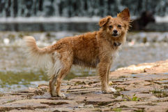 Dog. A brown hairy dog standing on the bank of the river Royalty Free Stock Photography