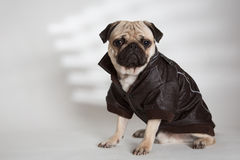 Dog with a brown jacket. A pug mops carlino wearing a brown leather jacket on a white background Royalty Free Stock Photos