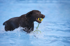 Dog, brown Labrador retriever fetching ball in swimming pool Royalty Free Stock Photography