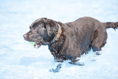 Dog, brown Labrador Retriever with tennis ball in swimming pool Royalty Free Stock Image