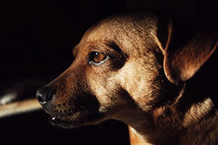 Dog. Brown dog profile portrait with dark background Royalty Free Stock Image