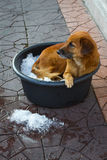 A Dog In a Bucket of Ice Bangkok Thailand_Julian_Bound Stock Image