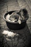 Dog In a Bucket of Ice Bangkok Thailand Royalty Free Stock Photo