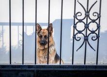 Dog in Budva. German Shepherd dog behind metal gate in Budva, Montenegro Stock Images