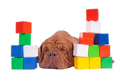Dog builder Royalty Free Stock Images