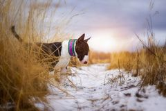 Dog bull terrier in the field. Dog bullterrier in the field in collar stock images