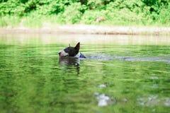 Собака бультерьер плывет в зеленой воде. Dog Bull Terrier floats in the green water in summer in a blue collar Stock Image