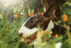 Dog  bull terrier in flowers. In summer Royalty Free Stock Images