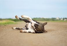 Dog Bull Terrier lies on the sand. In the summer with closed eyes Royalty Free Stock Photo