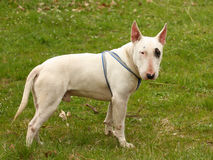 A dog (Bull terrier) stock photography