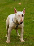 Dog  (Bull terrier) Royalty Free Stock Photography