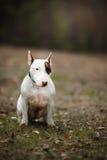 Dog Bull Terrier Walking In The Park Stock Photos