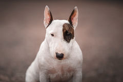 Dog Bull Terrier Walking In The Park Royalty Free Stock Image