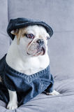 Dog, bulldog with cap, dress, and glasses Stock Photos