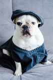 Dog, bulldog with cap, dress, and glasses Royalty Free Stock Photography