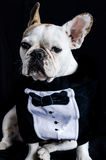 Dog, bulldog with cap, dress, and glasses Stock Image