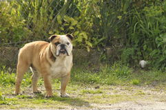 Dog, Bulldog watching the intruder. Stock Photo