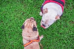 Dog bulldoggen som spelar med en mopshund på det gröna gräset Royaltyfria Bilder