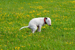 Dog, bullterrier craps in a grass. Dog, bullterrier craps on a glade in a grass. Photo for ecological and clean nature projects Stock Photos