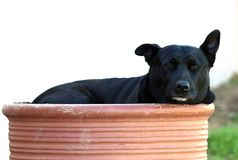 Dog, Bumentopf, Pitbull, Rest Stock Photos