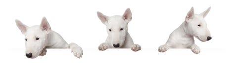 Dog with bunner Stock Photos