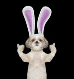 Dog with bunny ears -- isolated on black Stock Photography