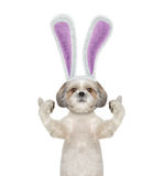 Dog with bunny ears -- isolated on white Royalty Free Stock Photos