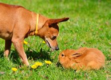 Dog and bunny in the meadow Stock Photo