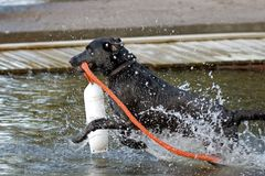 Dog with a buoy jumps into water Stock Photo