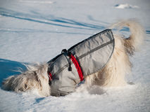 The dog buried a nose during snow. Chinese crested dog in the wi Stock Photo