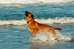 Dog bursting out of ocean Royalty Free Stock Image