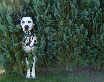 dog in bush royalty free stock photo