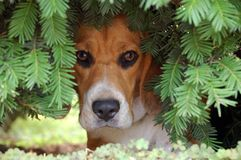 Dog in bushes Stock Images