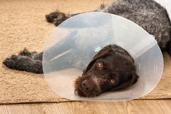 Dog with buster collar. Sad dog with plastic elizabethan buster collar Stock Image