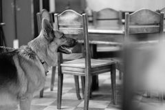 A dog in a cafe. A dog stands in a cafe room amidst wooden furniture stock photo