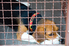 Dog cage. Lonely beagle dog in cage Stock Photo